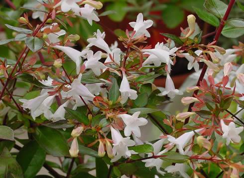 Arbustos con flor la Abelia2