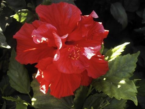 fotografia hibisco rojo Cuidados básicos del hibisco