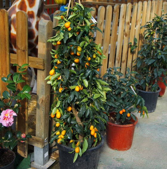 Kumquat ornamental