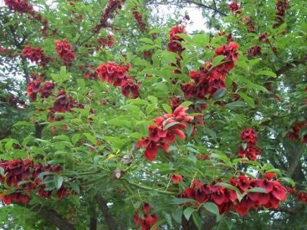 Jardinería Fácil »Árboles con flores: el Ceibo | Blog de Jardinería