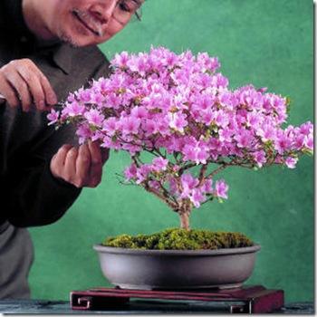 Bonsai-azaleas