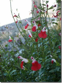 Plantas-florales-la-Salvia-Roja