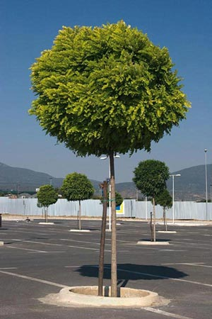 Jardiner a f cil arboles peque os acacia bola blog de for Arboles para jardines pequenos