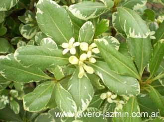 Arbustos perennes el Azarero2