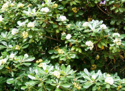 Jardiner a f cil arbustos perennes el azarero blog de for Arboles ornamentales de hoja perenne