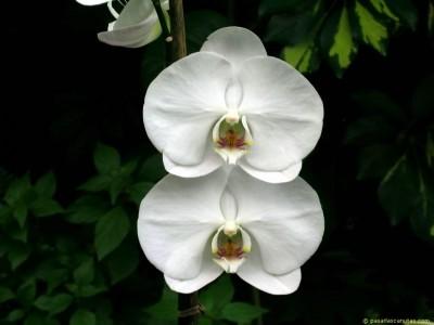 Plantas de Interior con flor la Orquídea1