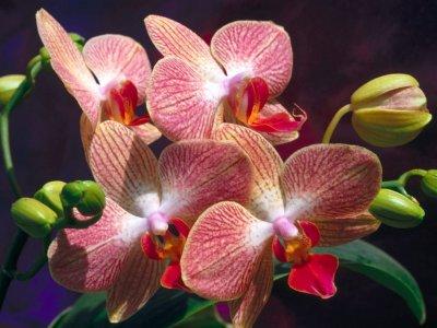 Plantas de Interior con flor la Orquídea2