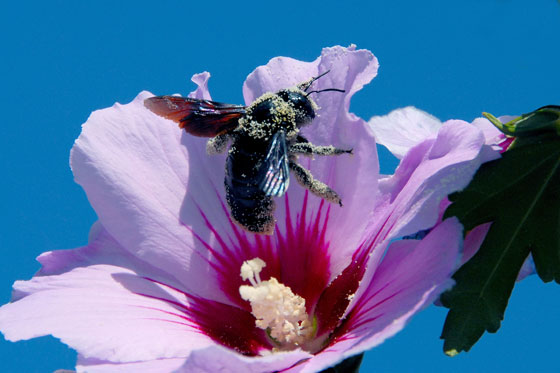 Abeja plolinizando una flor