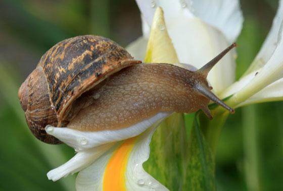 Jardiner a f cil caracoles en el jard n blog de jardiner a for Caracol de jardin