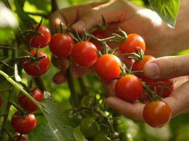 como preparar el suelo para plantar tomates