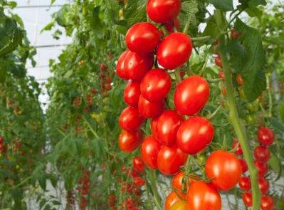 cuando plantar tomates