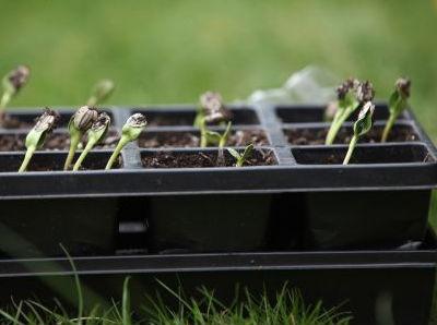 cuidado y trasplante de plantulas en almacigos