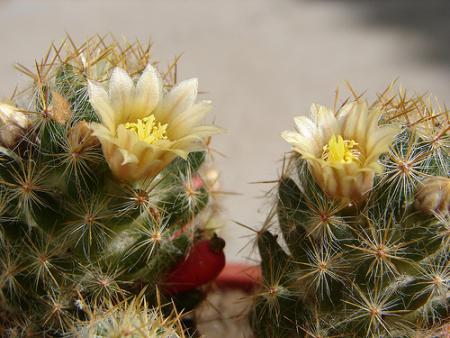 Flores Cactus