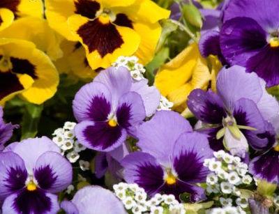 Plantas anuales y bianuales en el jardin