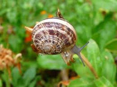 Jardiner a f cil caracoles en el jard n c mo for Caracol de jardin alimentacion