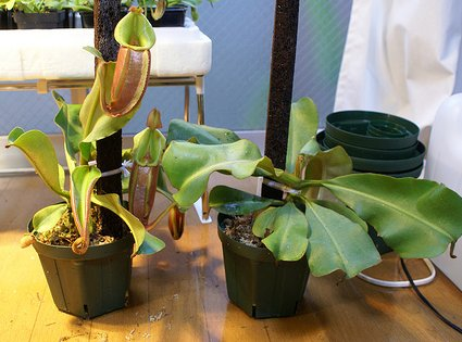 Planta carnívora en el hogar