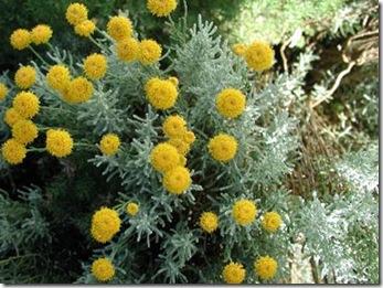 Jardiner a f cil la santolina arbusto decorativo blog - Plantas perennes exterior ...