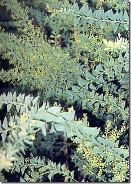 acacia_cultriformis_1