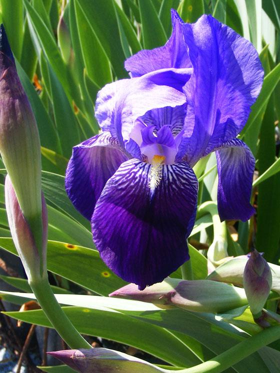 Flores de Iris germánica
