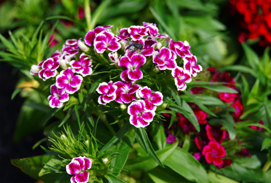 Dianthus barbatus, clavel del poeta o minutisa