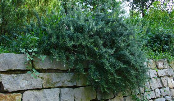 Rosmarinus officinalis prostratus