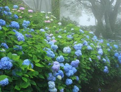 trucos para obtener bellas flores de hortensia