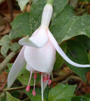 Fuchsia Annabel
