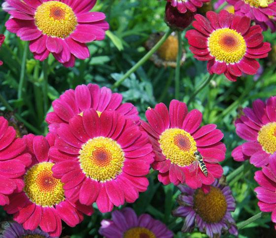 Flores de Argyranthemum frutescens, Chrysanthemum frutescens