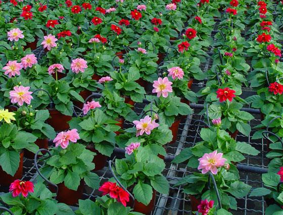 Flores de Dahlia o Dalia