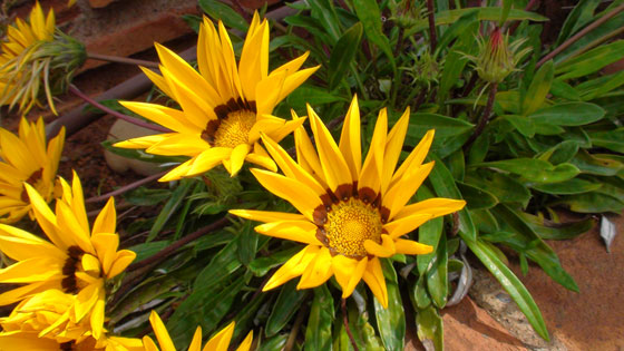 Flores de Gazania