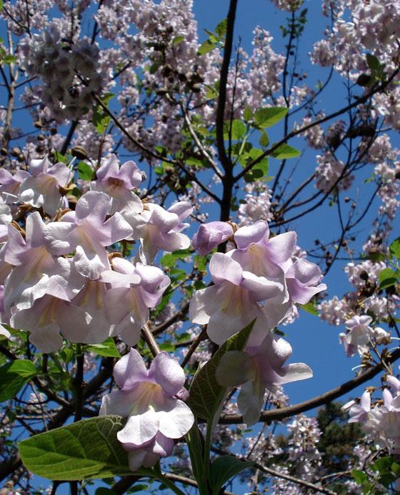 Flores de Paulownia