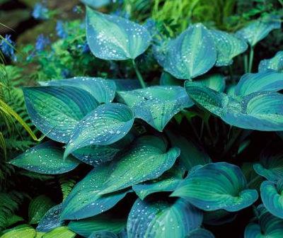 hosta planta perenne