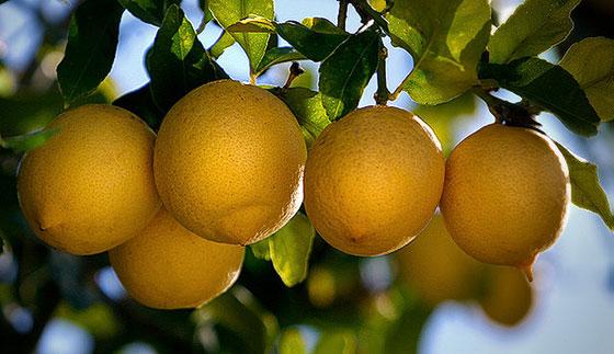 Limoneros para huertos, terrazas y jardines