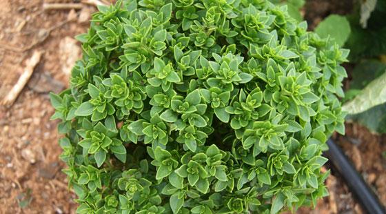 Planta de Albahaca en el huerto urbano