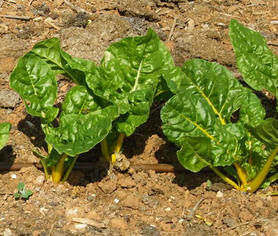 Plantas de Acelgas amarillas