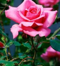 Jardiner a f cil rosales trucos para su cuidado en for Jardineria rosales