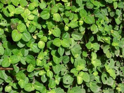 Pilea Nummularifolia