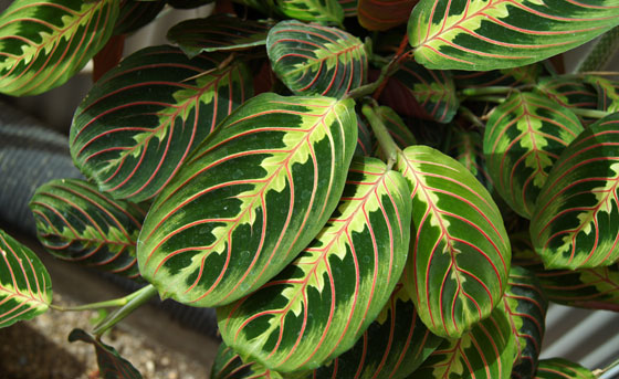 Maranta tricolor o Maranta leuconeura