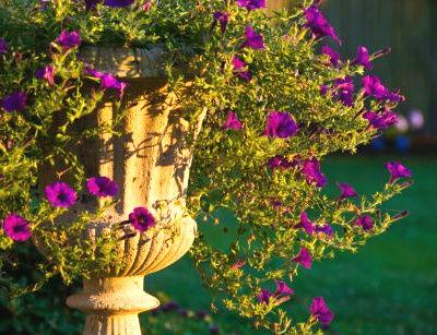 petunia planta de flor planta verano