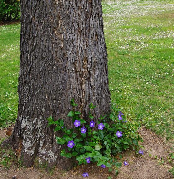Vinca minor plantada debajo de los árboles