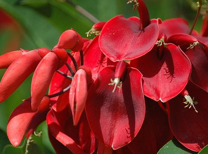 Floración del ceibo