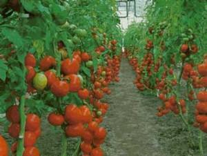 """""""¡Cultiva Tomates! Es el Momento"""""""