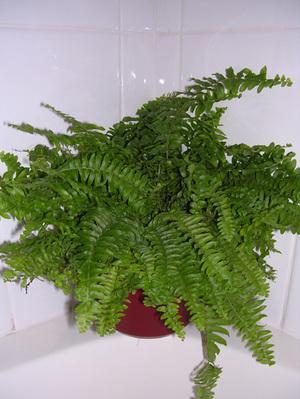 Helecho rizado parte 2 blog de jardiner a - Plantas de interior que necesitan poca luz ...