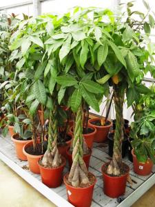 """""""Higo Llorón o Ficus Trenzado para Interior"""""""
