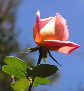 """""""Cultiva Rosales, Belleza y Aroma"""""""
