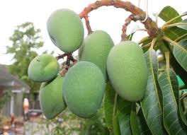 """""""Cómo Germinar una Planta de Mango"""""""