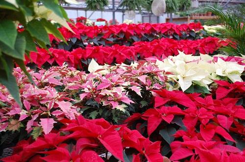 """5 Flores de Navidad para Adornar Tu Mesa"""
