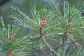 """""""buscar un árbol o pino natural para adornar en navidad """""""