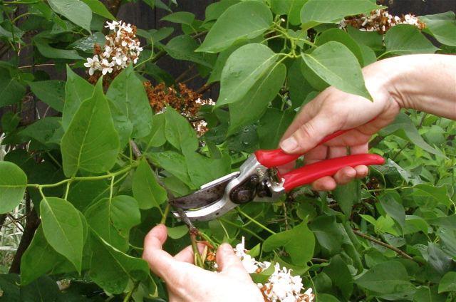 lilac-pruning-two1