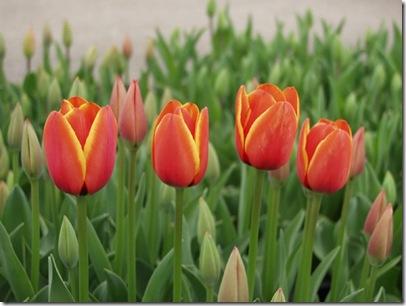 0-fotos-tulipanes-g